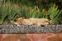 chat_roux_roussillon