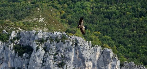 vautour_verdon