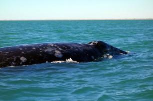 baleine grise San ignacio