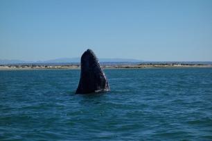 baleine grise