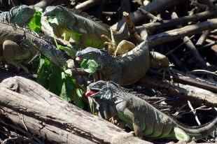 Iguanes en plein repas